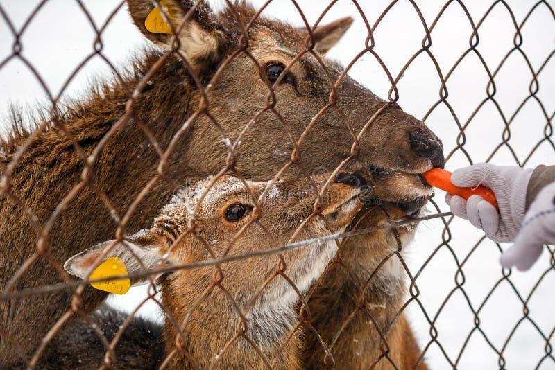 哺养在Visim自然保护的鹿在俄罗斯的低中间乌拉尔山 免版税库存图片