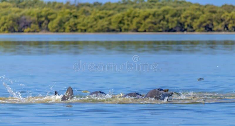 哺养疯狂的海豚 免版税库存图片