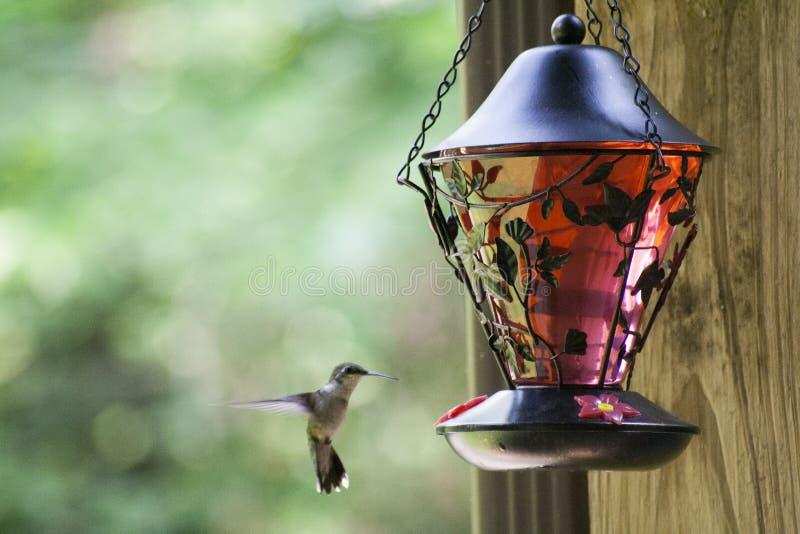 哺养1的哼唱着鸟 免版税库存图片