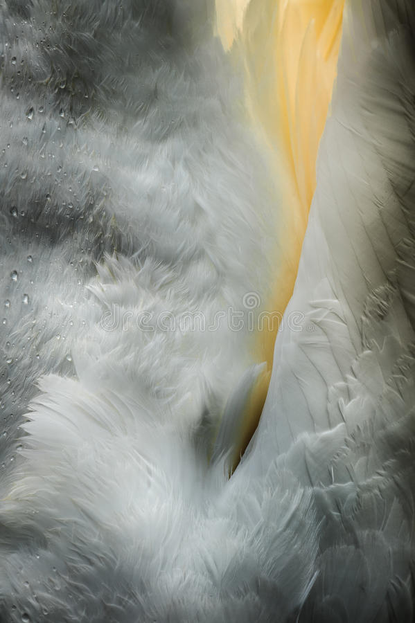 哺养的天鹅 图库摄影