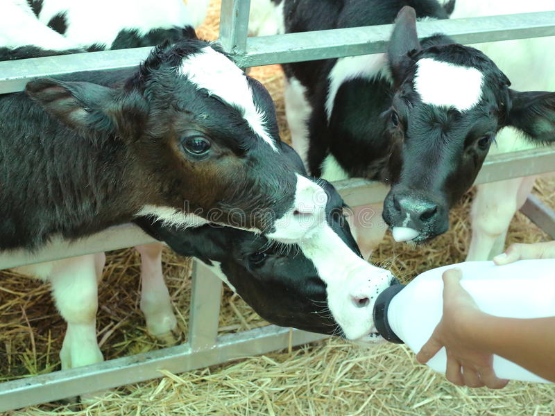 哺养的孤儿小小牛 图库摄影