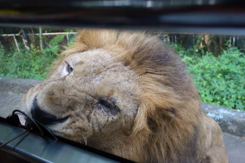 哺养的狮子 图库摄影