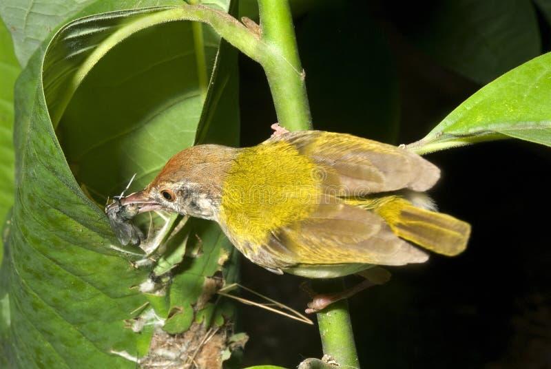 哺养的裁缝鸟 库存照片