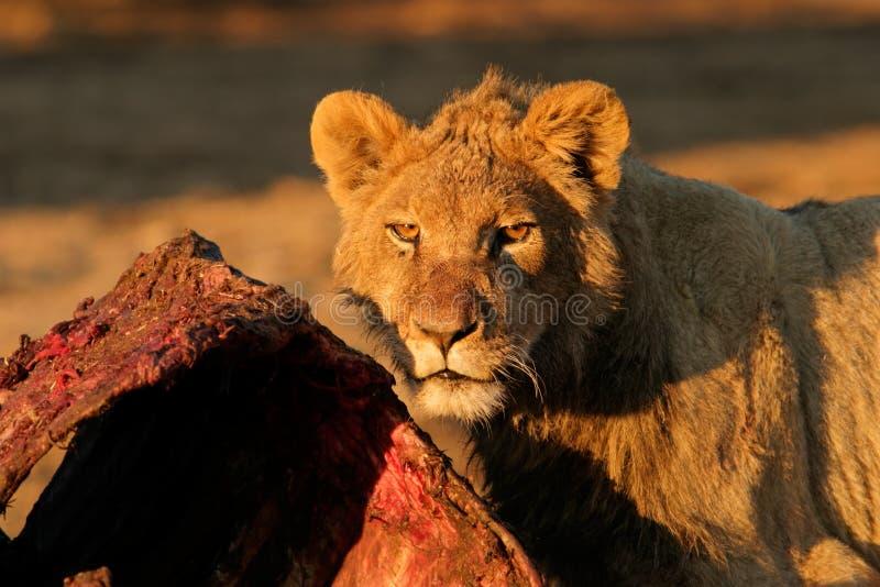 哺养的非洲狮子 库存图片