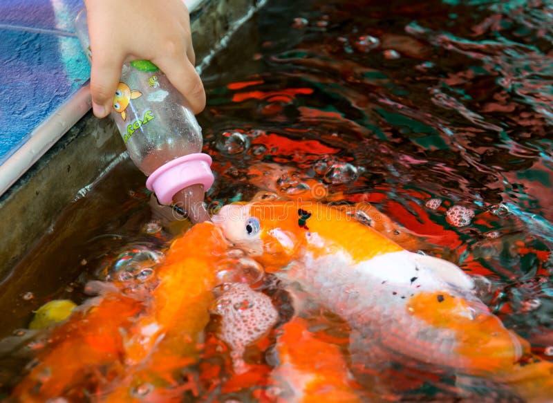 哺养的饥饿的鲤鱼鱼 免版税库存图片
