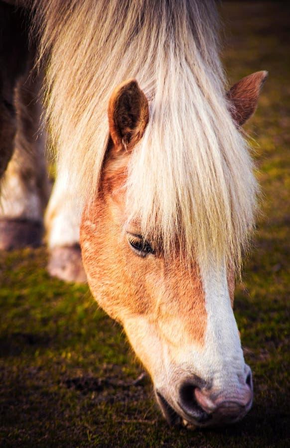 哺养的马 库存照片
