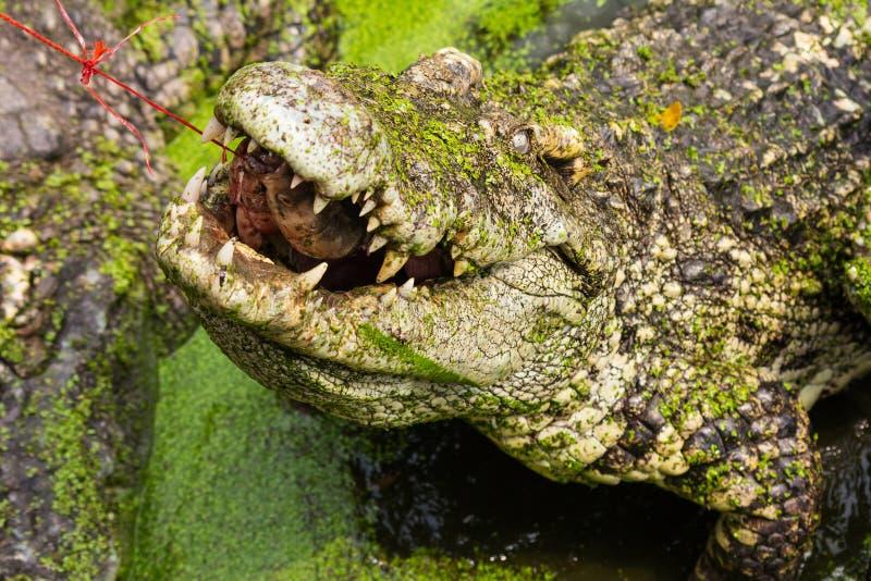 哺养的鳄鱼,吃鱼的鳄鱼 库存图片