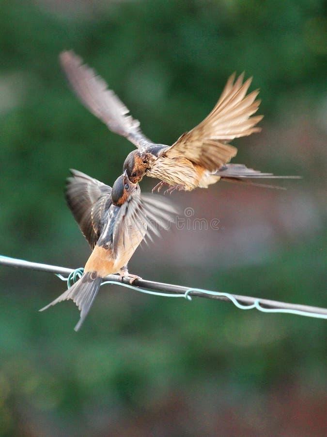 哺养的年轻人燕子