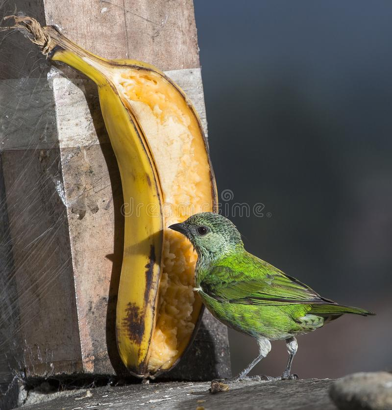 唐纳雀heinei 鲜绿色的鸟,女性 免版税库存照片
