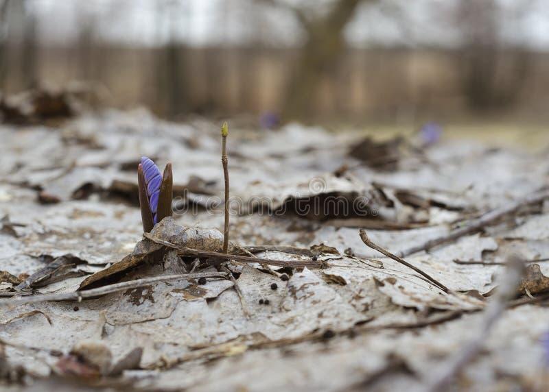 唤醒snowdrop在春天森林2 库存照片