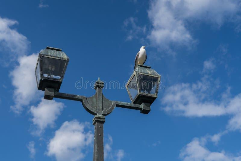 唧啾叫在灯柱的白色海鸥鸟 免版税库存图片