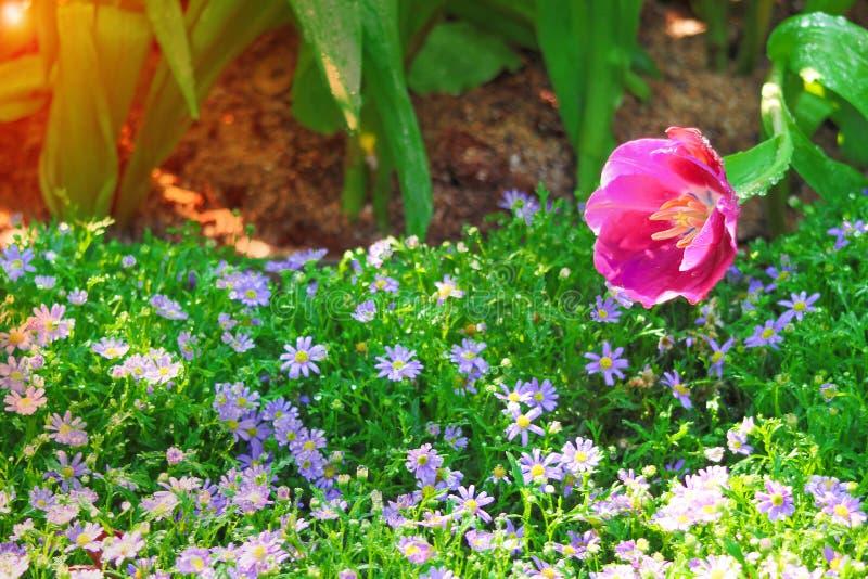 唯一五颜六色的与绿色词根的花甜桃红色郁金香,开花水的下落在庭院里和日出早晨,自然 免版税库存照片