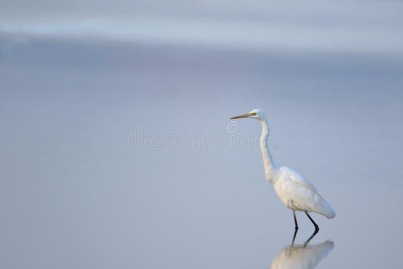 唯一伟大的白鹭鸟 免版税库存图片