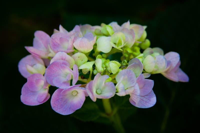 唯一八仙花属花发芽 库存图片