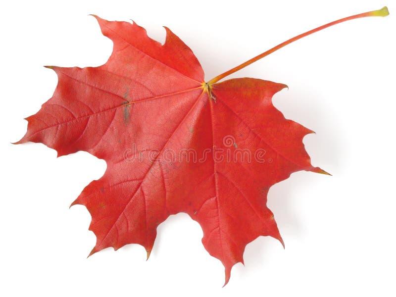 唯一叶子的槭树 免版税图库摄影