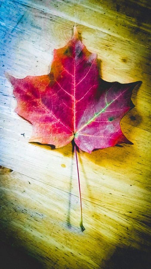 唯一叶子的槭树 库存图片