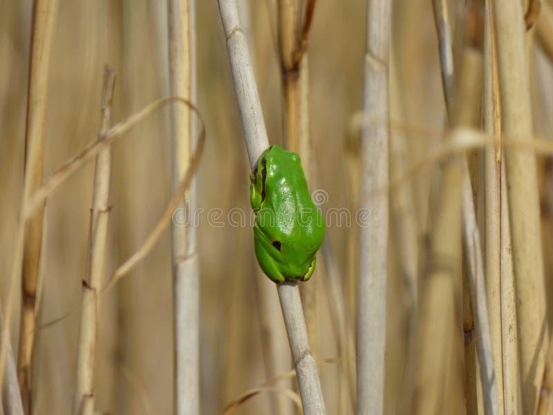 唯一小绿色欧洲雨蛙-在老芦苇的雨蛙arborea 免版税库存图片