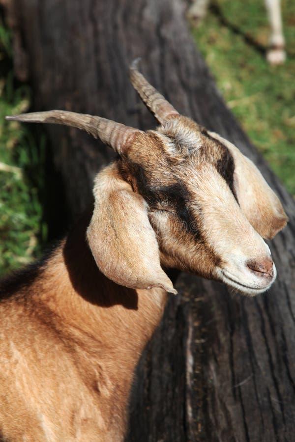 唯一山羊 免版税库存图片