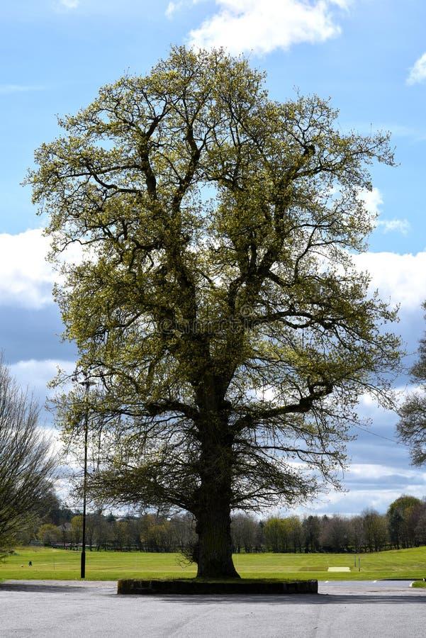唯一巨大的树在公园 图库摄影