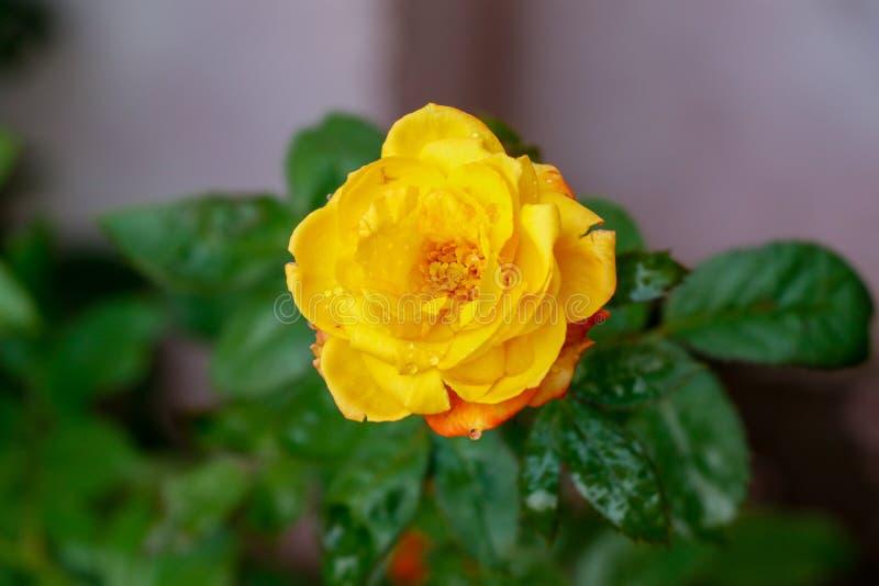 唯一开花的黄色玫瑰在庭院里,特写镜头视图 库存图片