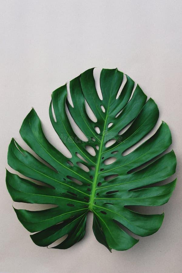 唯一新绿色monstera叶子纹理,拷贝空间 库存照片