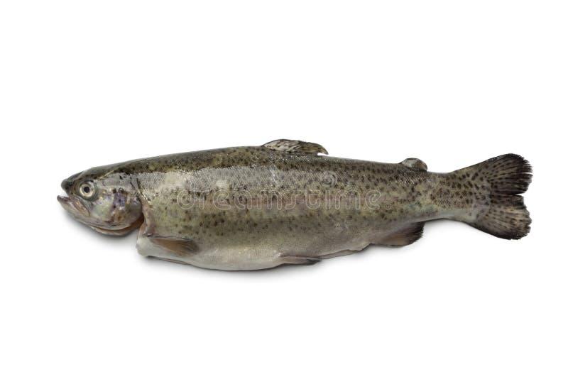 唯一新鲜的鳟鱼 免版税库存图片