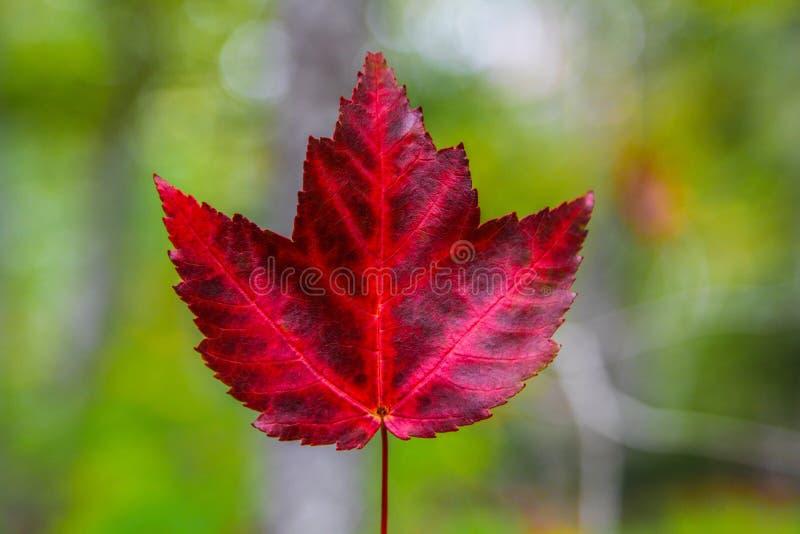 唯一明亮的红色枫叶 免版税库存照片