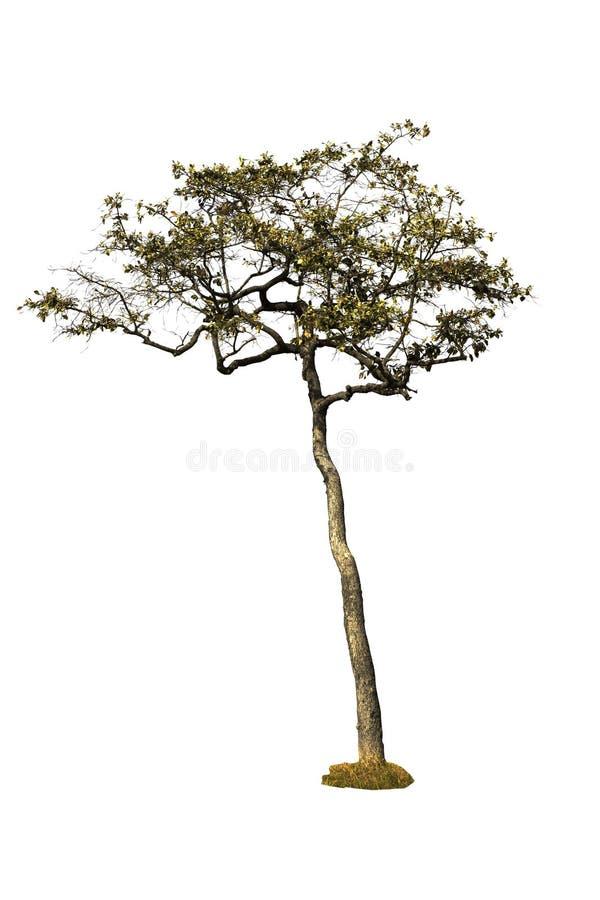 唯一树在白色背景的被隔绝的树 裁减路线 免版税库存照片