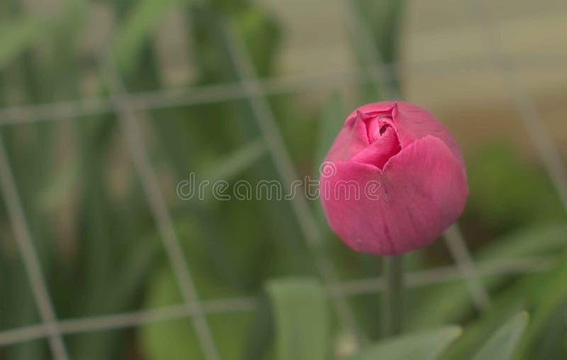 唯一桃红色郁金香绽放 免版税图库摄影
