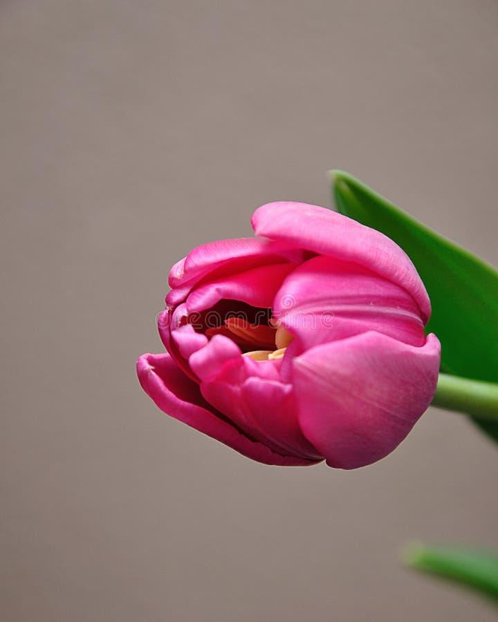 唯一桃红色郁金香 库存图片