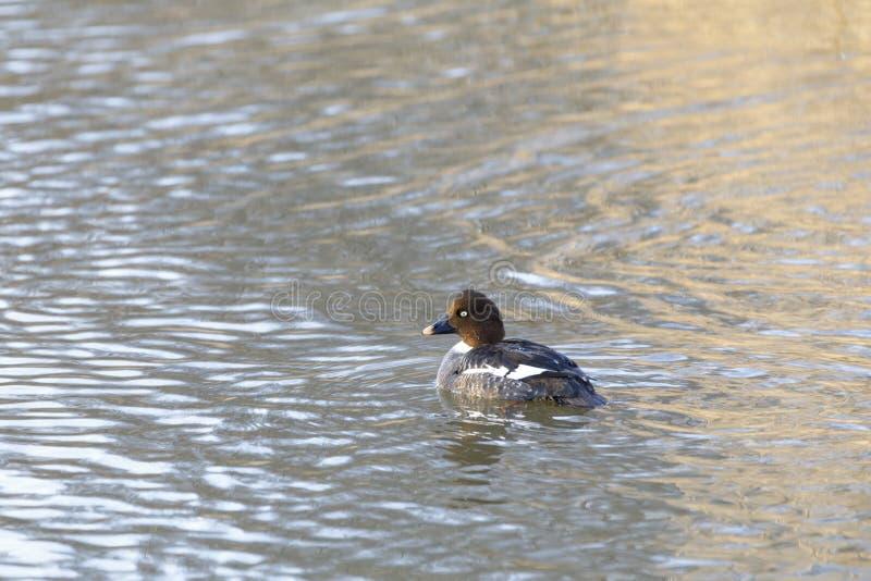 唯一棕色手推车的白颊鸭在湖 库存图片