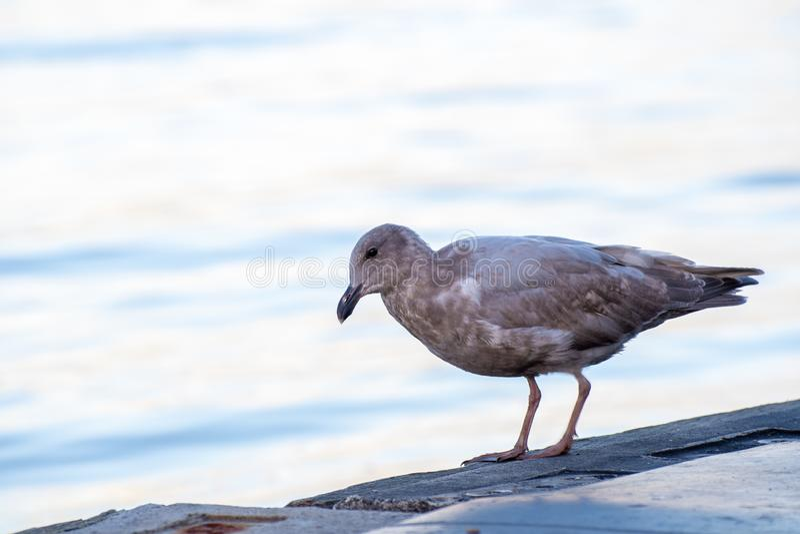 唯一棕色海鸥 免版税库存照片