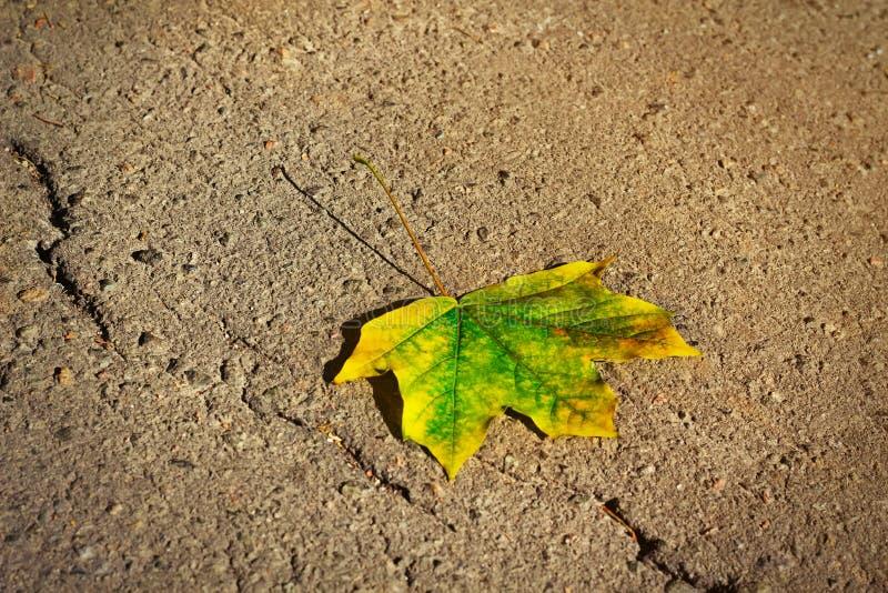 唯一槭树秋天叶子 图库摄影