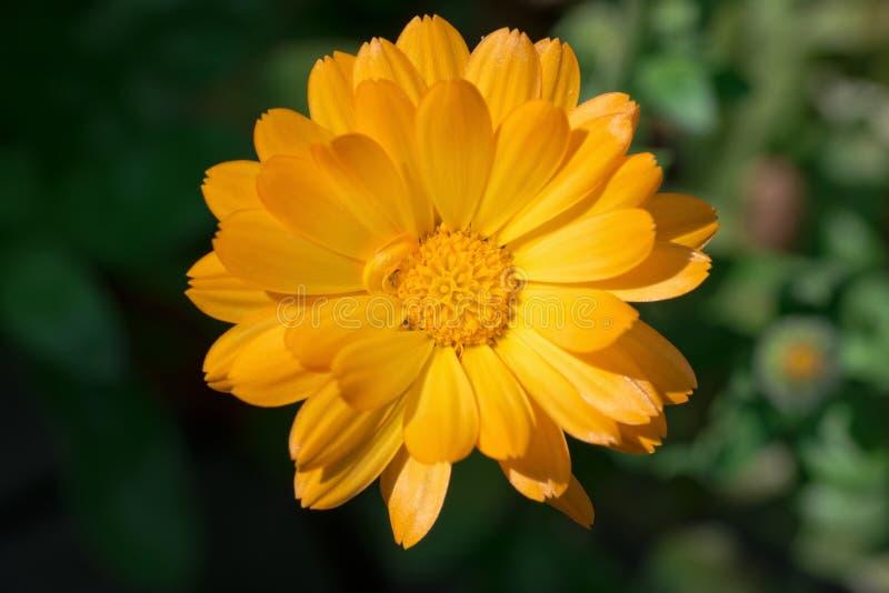 唯一橙色金盏草头状花序的顶视图 库存照片