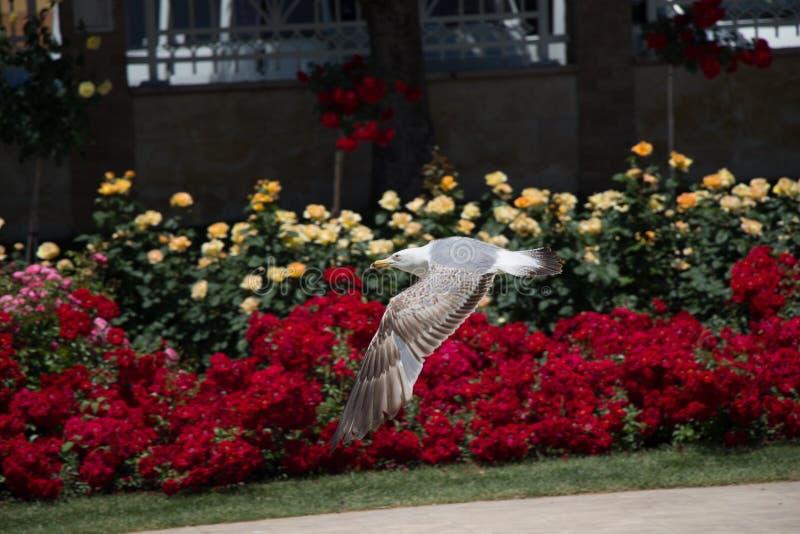 唯一海鸥在公园 库存图片