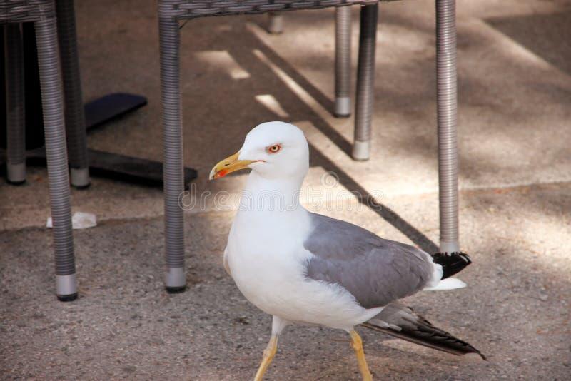 唯一海鸥画象  美好的白色鸟海鸥基于和摆在街道,关闭  乐趣海鸥身分 免版税库存照片