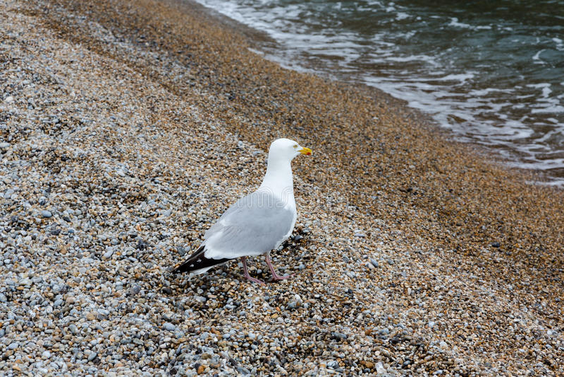 唯一海鸥,鸥科,在石海滩观看的海的立场挥动 免版税库存图片
