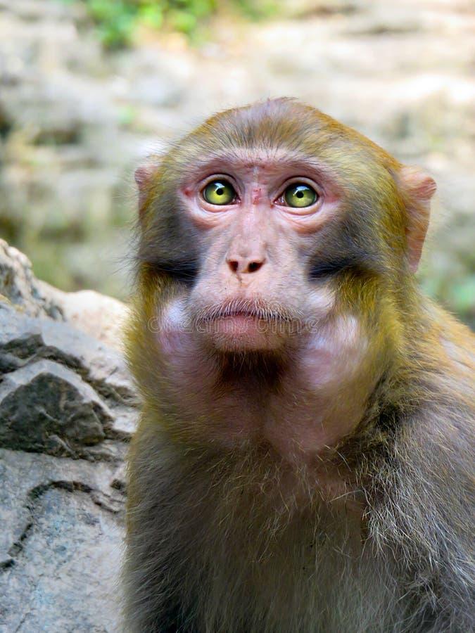 唯一猴子画象在中国 免版税库存照片