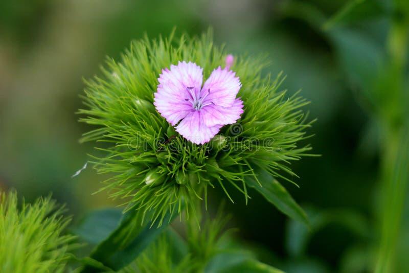 唯一甜有浅粉红色的在地方庭院里种植的花和绿色叶子的威廉或石竹barbatus年轻开花植物 免版税库存照片
