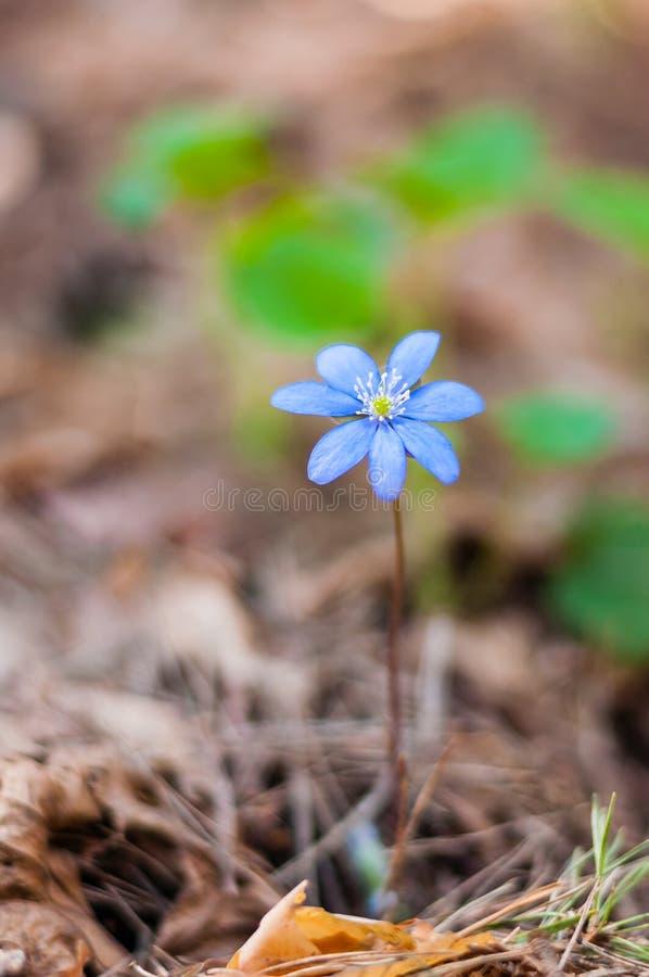 唯一生长Hepatica Snowdrop蓝色花在早期的春天森林里 免版税库存图片