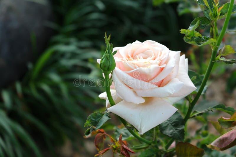 唯一白玫瑰在庭院里 库存图片