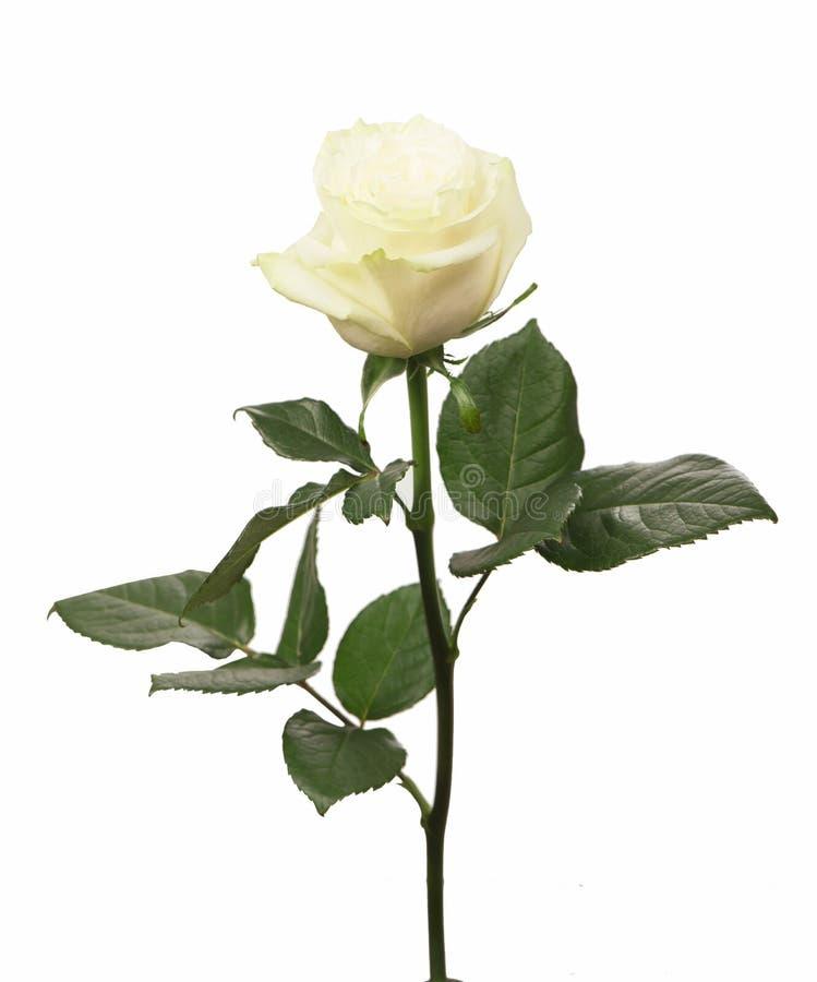 唯一白玫瑰 免版税库存图片
