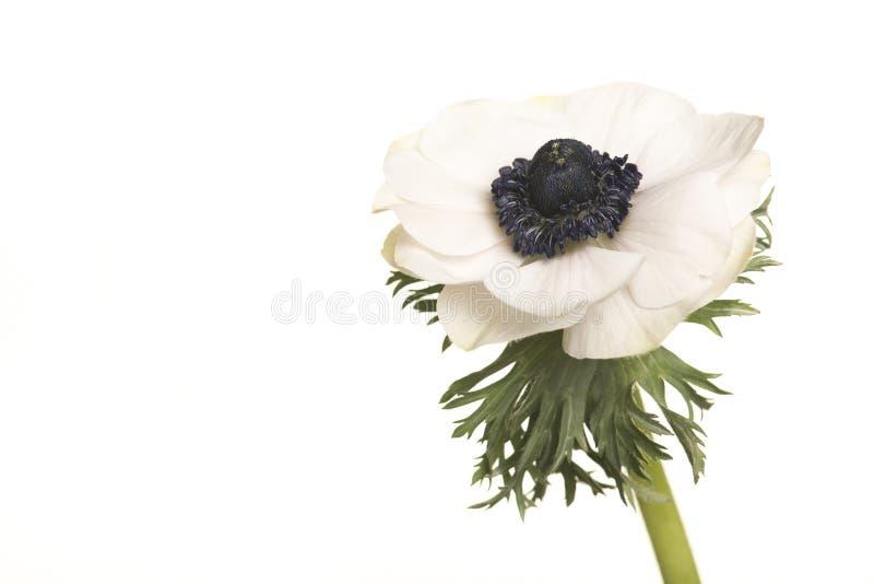 唯一白色开花的银莲花属花 免版税库存照片