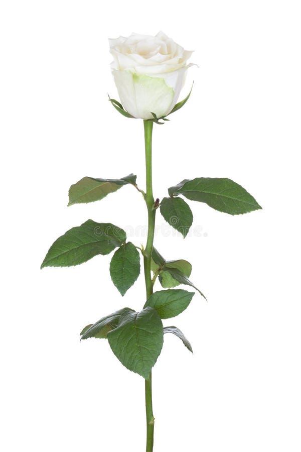 唯一白色玫瑰。 库存照片