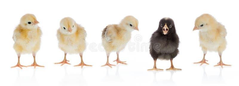 唯一的鸡 库存图片