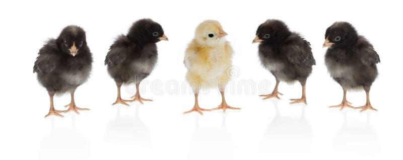 唯一的鸡 库存照片