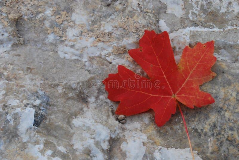 唯一秋天的叶子 免版税图库摄影