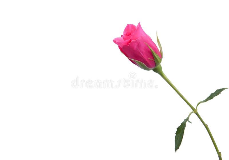 唯一粉红色的玫瑰 库存照片