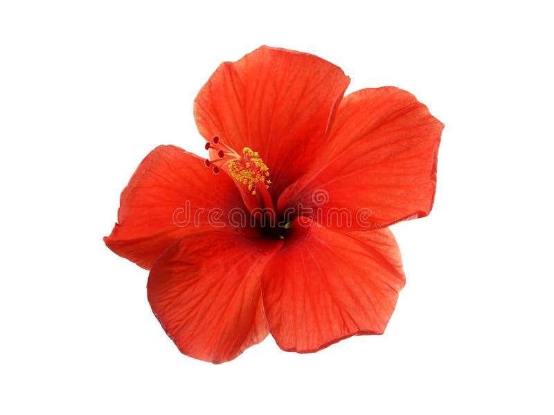 唯一红色木槿花的关闭与在白色背景隔绝的黄色花粉 库存图片