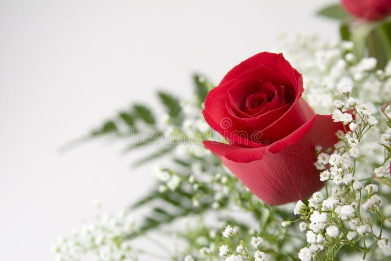 唯一红色的玫瑰 图库摄影